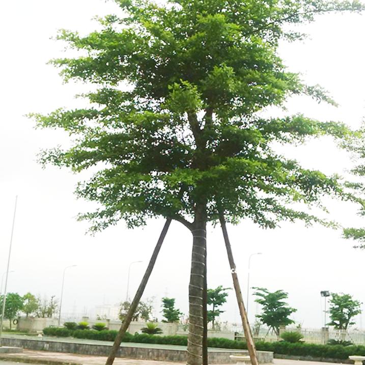 Mua bán cây bàng Đài Loan giá rẻ