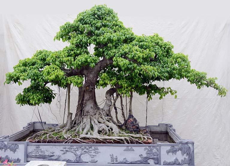 Mua bán cây si chất lượng tại Hà Nội