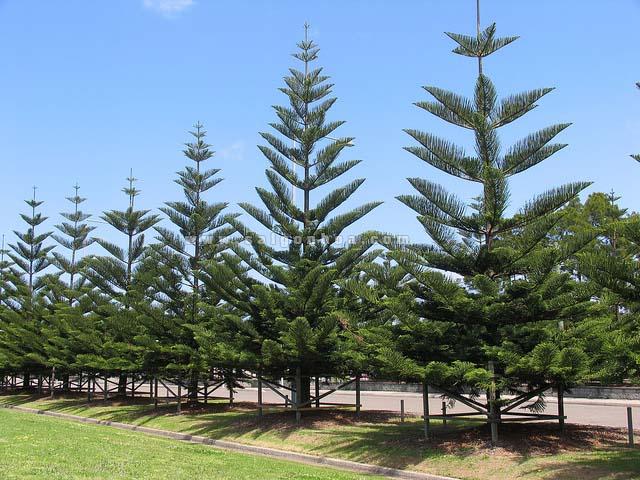 Những điều bạn cần biết về cây Tùng 2019