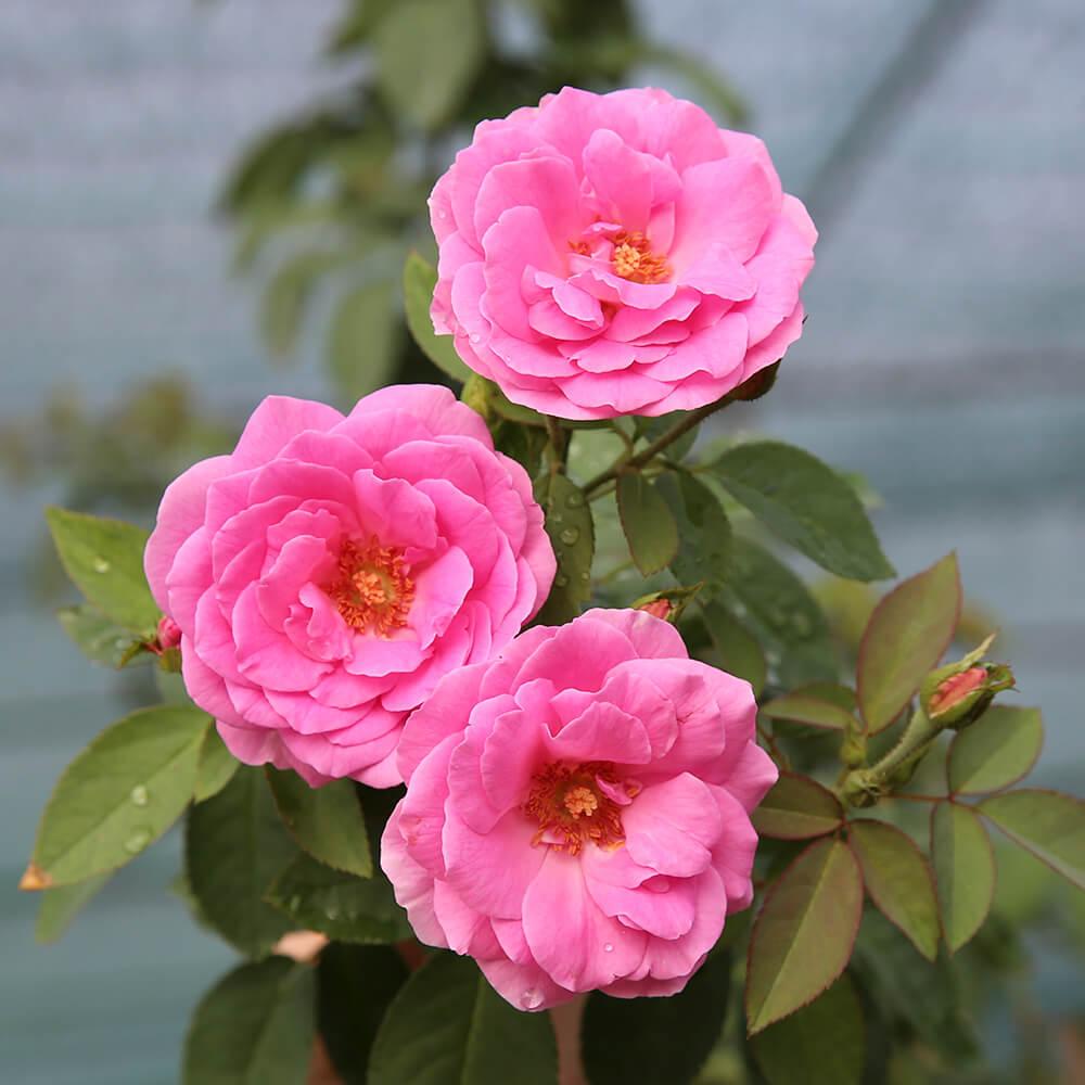 Đặc điểm của những giống hoa hồng cổ tại Việt Nam
