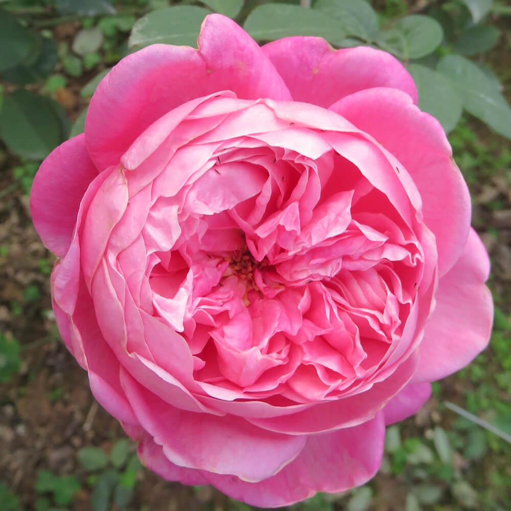 Các loại hoa hồng cổ đẹp ở Việt Nam