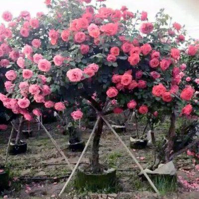 Bật mí địa chỉ bán cây hồng cổ Sapa giá rẻ, uy tín, chất lượng