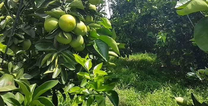 Đặc điểm và lợi ích của cây bưởi công trình