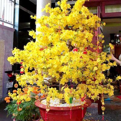 Bán cây mai vàng trồng tết 2020 giá rẻ tại Hà Nội
