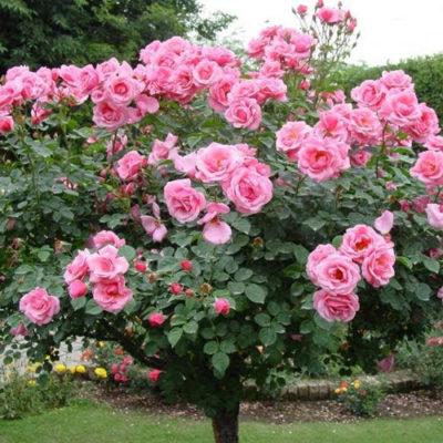 Hoa hồng cổ ở Việt Nam – Loại hoa đặc sắc ngày Tết cổ truyền