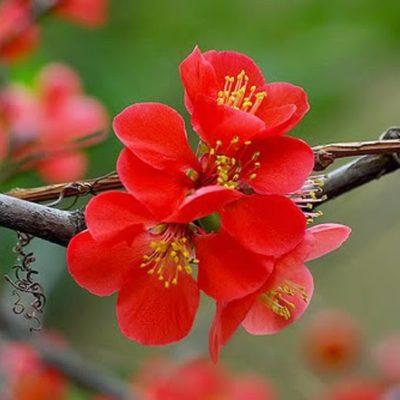 Độc đáo hoa trồng ngày tết – cây hoa mai đỏ 2020