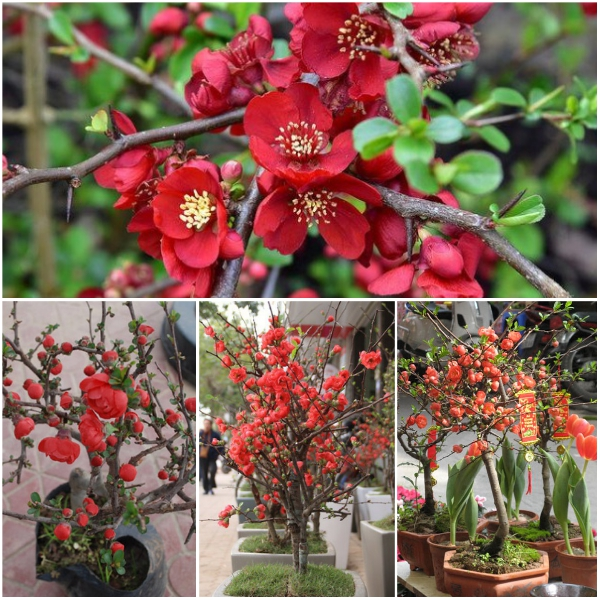 Bật mí địa chỉ bán cây hoa mai đỏ Tết giá rẻ tại Hà Nội