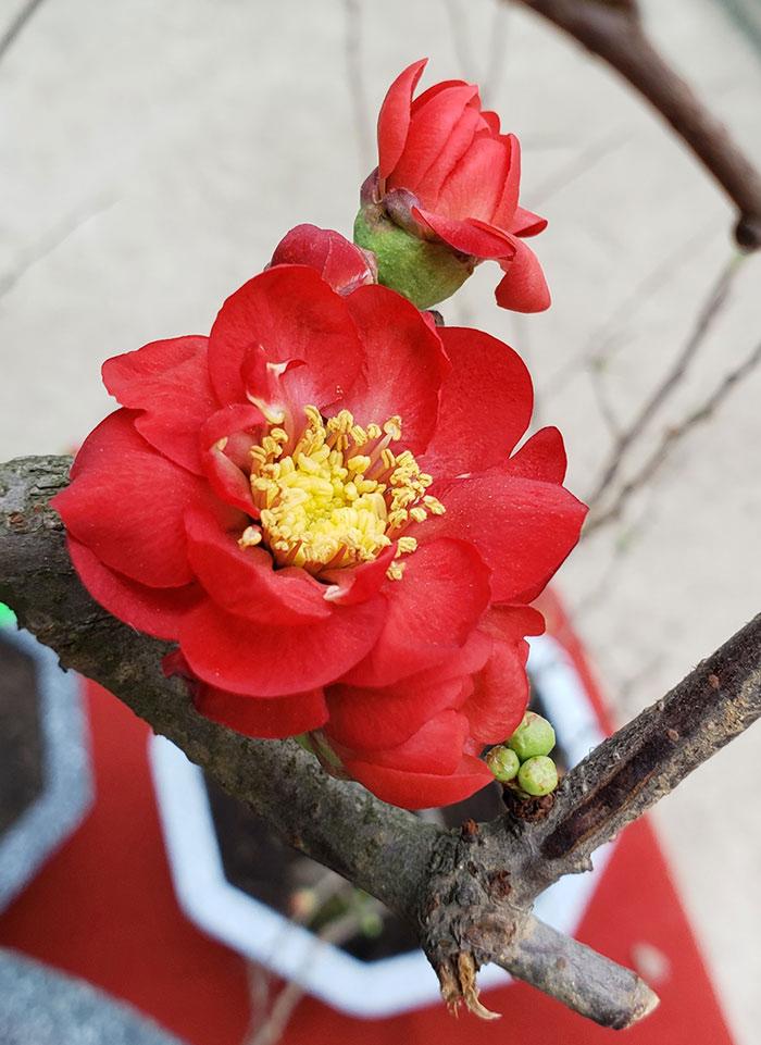 Độc đáo hoa trồng ngày tết - cây hoa mai đỏ 2020