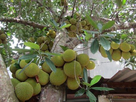 Đặc điểm của cây mít