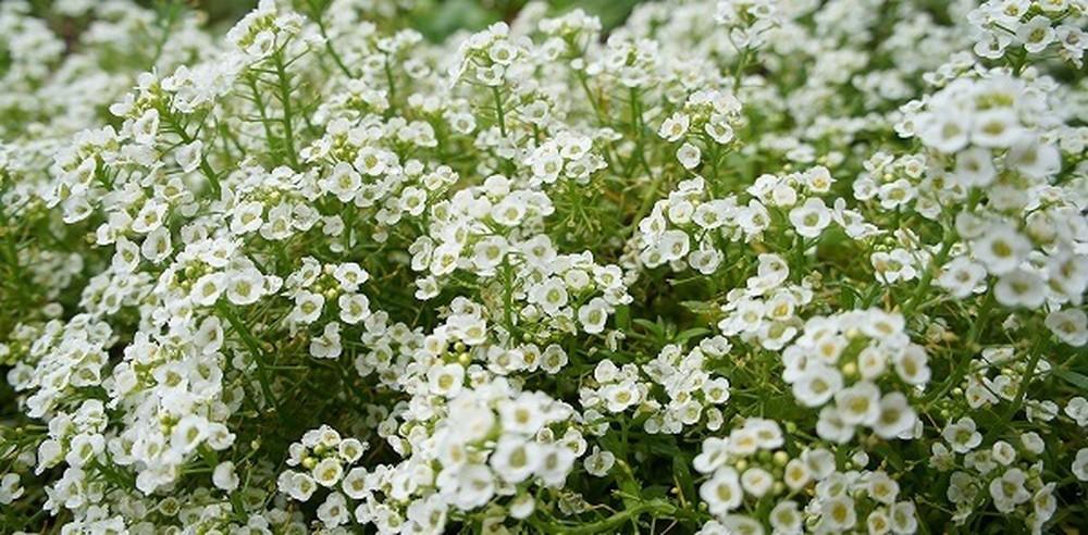 Tìm hiểu vè hoa ngàn sao