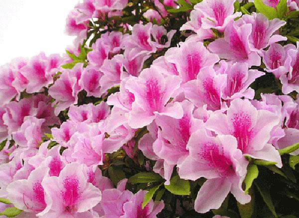 Tổng quan về hoa đỗ quyên