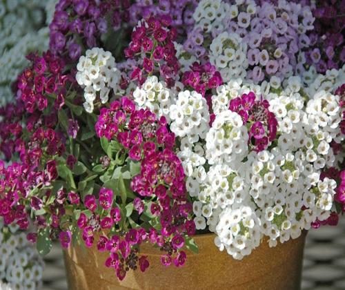 Ý nghĩa của hoa ngàn sao