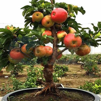cây táo bon sai