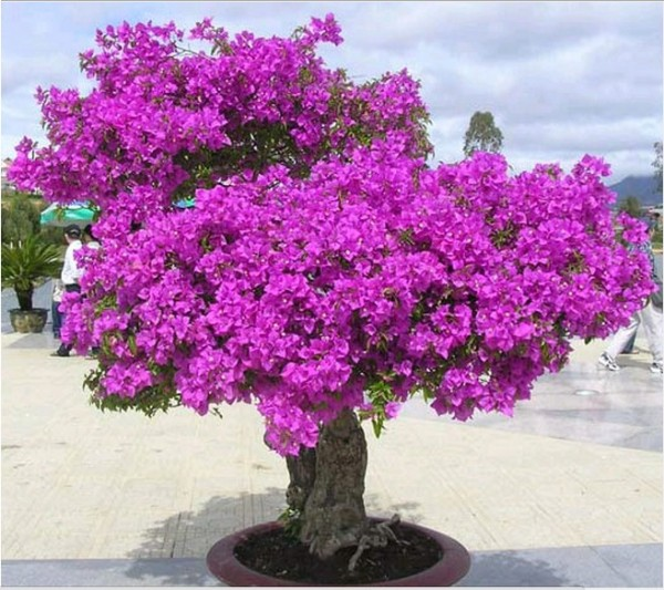 Giới thiệu về cây bông giấy cảnh
