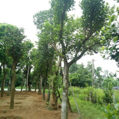 Bán cây mít giá rẻ, uy tín, chất lượng – Bảo hành 12 tháng