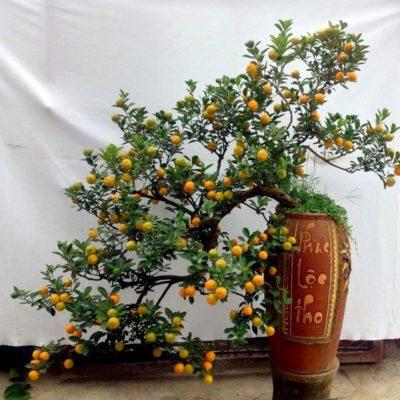 Mách bạn địa chỉ mua quất chơi Tết 2020 giá rẻ, cây đẹp phục vụ tận nhà