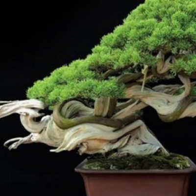 Phong thủy bonsai