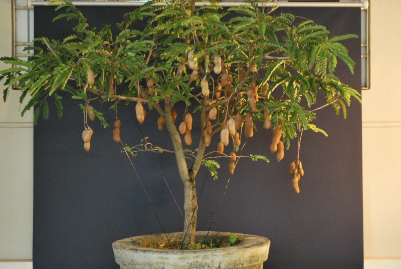 Cách trồng cây me Bonsai