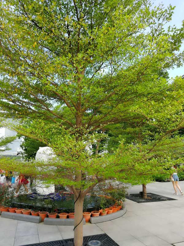 Địa chỉ bán cây bàng Đài Loan tại quận Hà Đông