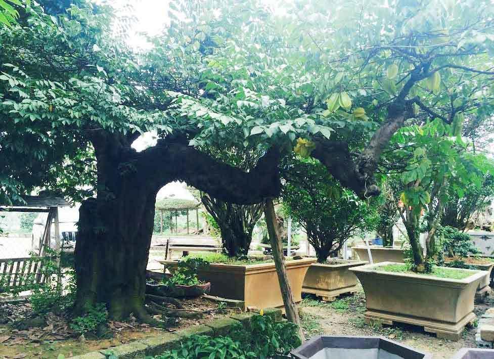 Cách trồng cây khế