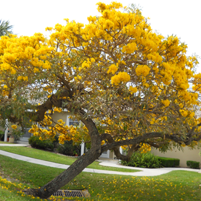 Công dụng của cây chuông Vàng