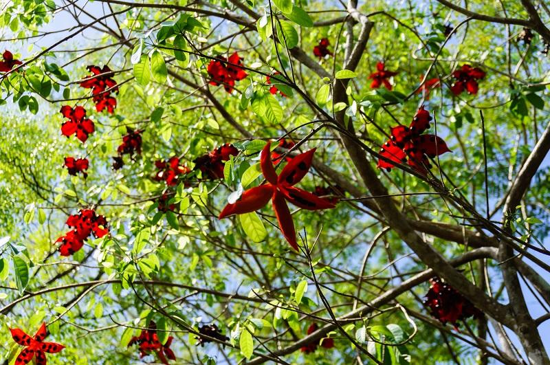 Đặc điểm của cây Sang