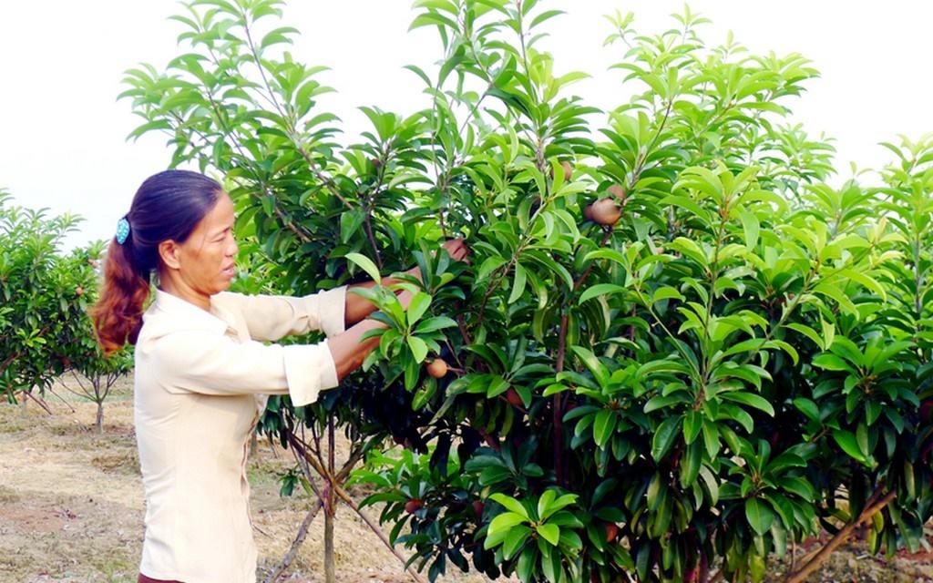 Kỹ thuật trồng hồng xiêm xoài