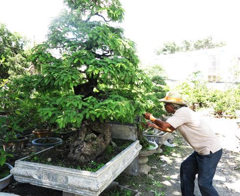 Kỹ thuật trồng Cây me bonsai cho sai quả