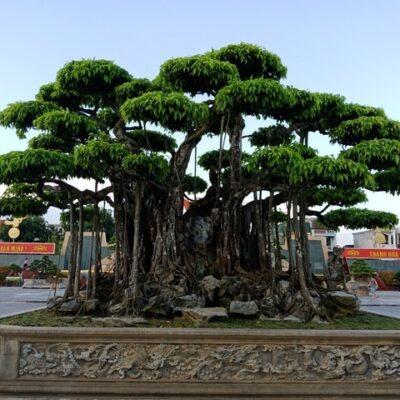 Và hiện giờ đang có cây Sanh một giống cây đang được nhiều người yêu thích cây xanh và cây cảnh quan tâm đến nhiều vì vẻ đẹp và mặt phong thủy của nó, để biết được thêm giá trị về cây xành mời các bác cùng Vuoncayhoabinh.com tìm hiểu bài viết dưới đây nhé!.