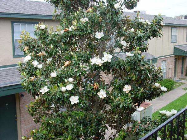 Cây sen đất hiện đang được cung cấp tại vườn Cây Hòa Bình