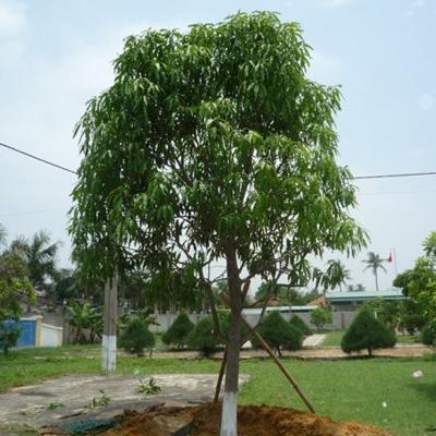 Cây xoài công trình hiện đang được Vườn Cây Hòa Bình Phân Phối liên Tục ra thị trường
