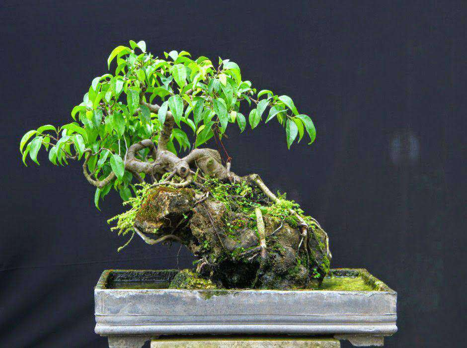 Thế cây Sanh mini đẹp