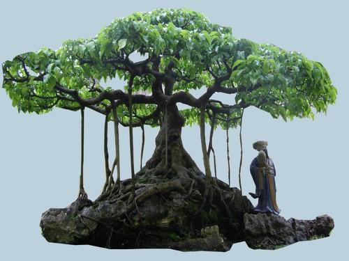 Cách tạo thế cho cây Sanh mà bạn nên biết