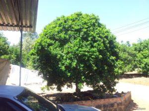 Cách chăm sóc cây nguyệt quế