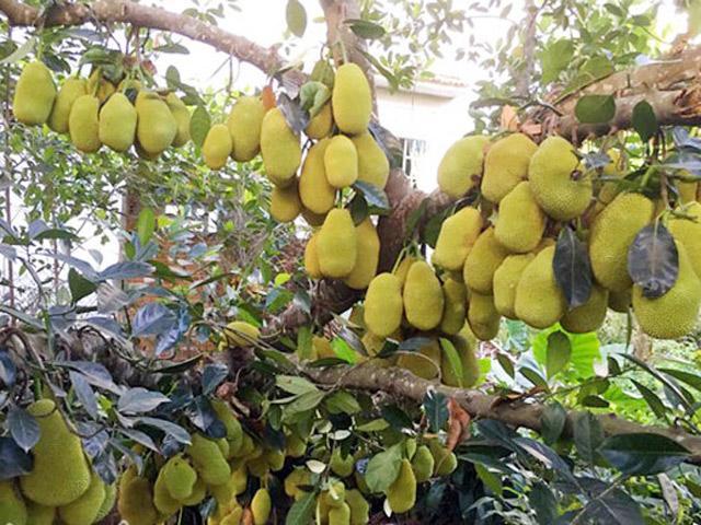 Các giống mít phổ biến tại Việt Nam