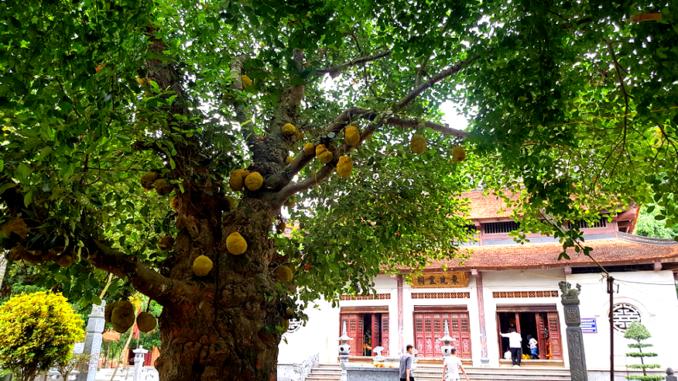 cây mít lâu năm