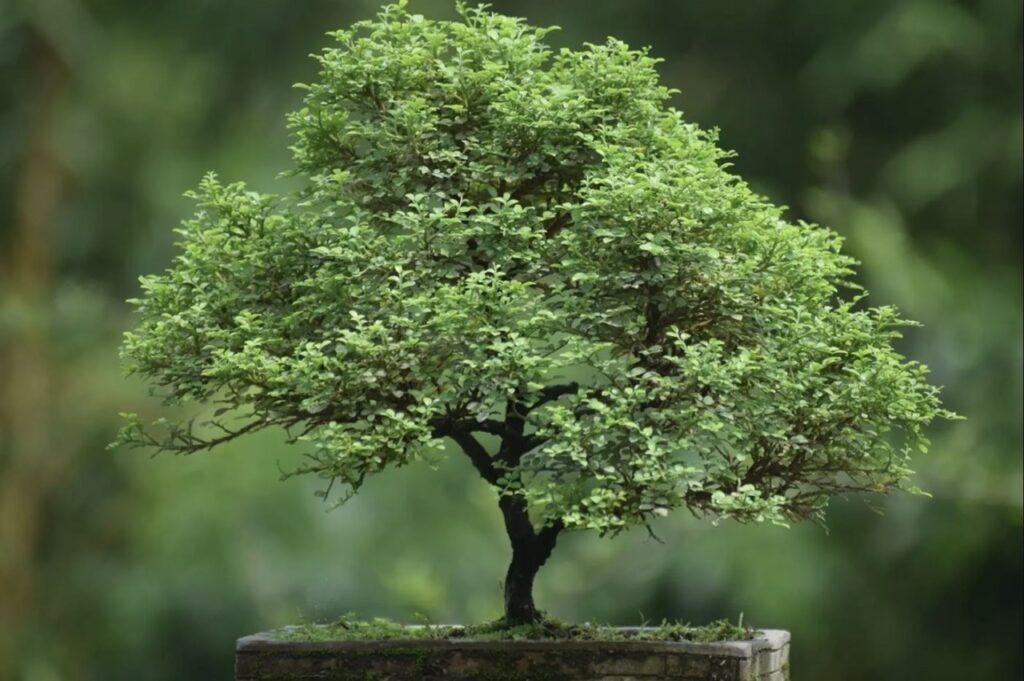 Cách chăm sóc cây nguyệt quế bạn nên biết