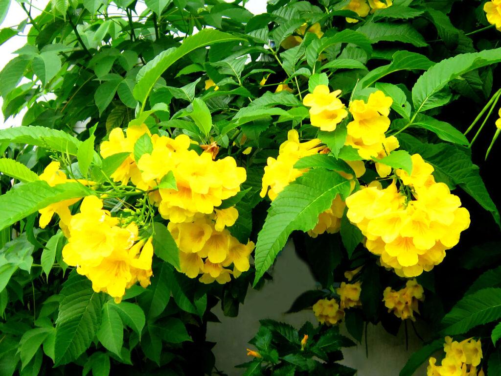 Hoa và lá cây chuông vàng