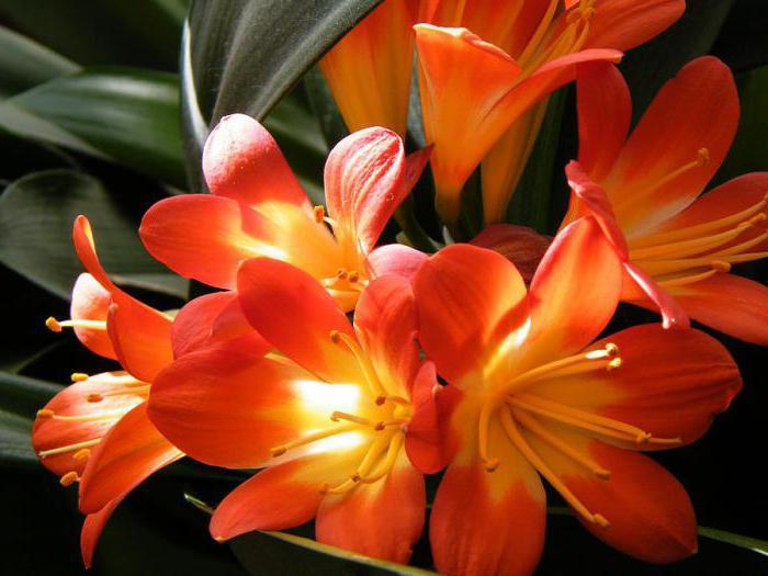 Bông hoa lan quân tử nở rộ khoe sắc
