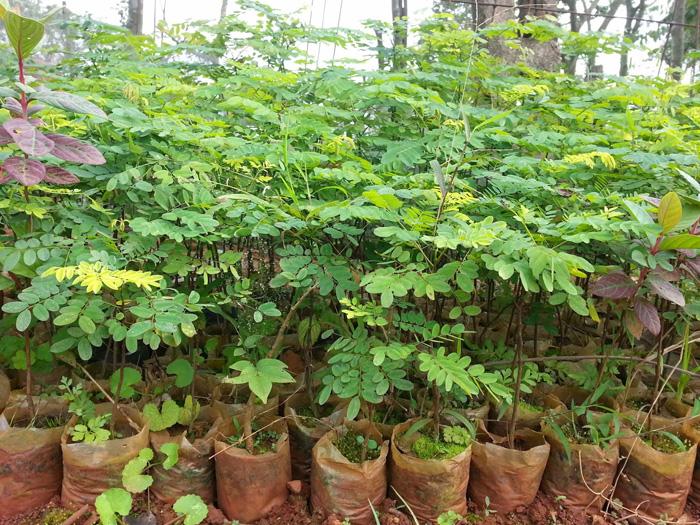Chăm sóc cây cẩm lai khá dễ dàng
