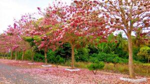 Cây kèn hồng rực rỡ