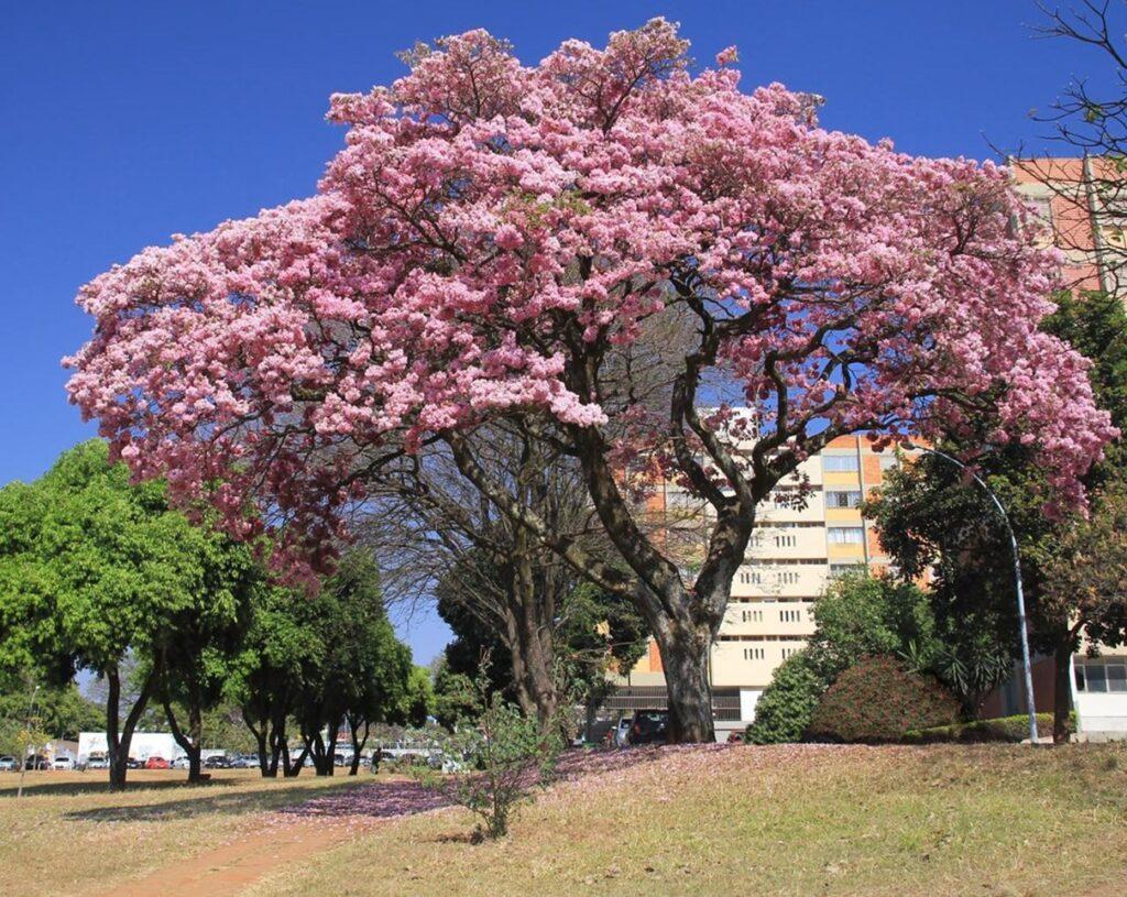 Cây kèn hồng trồng trong công viên