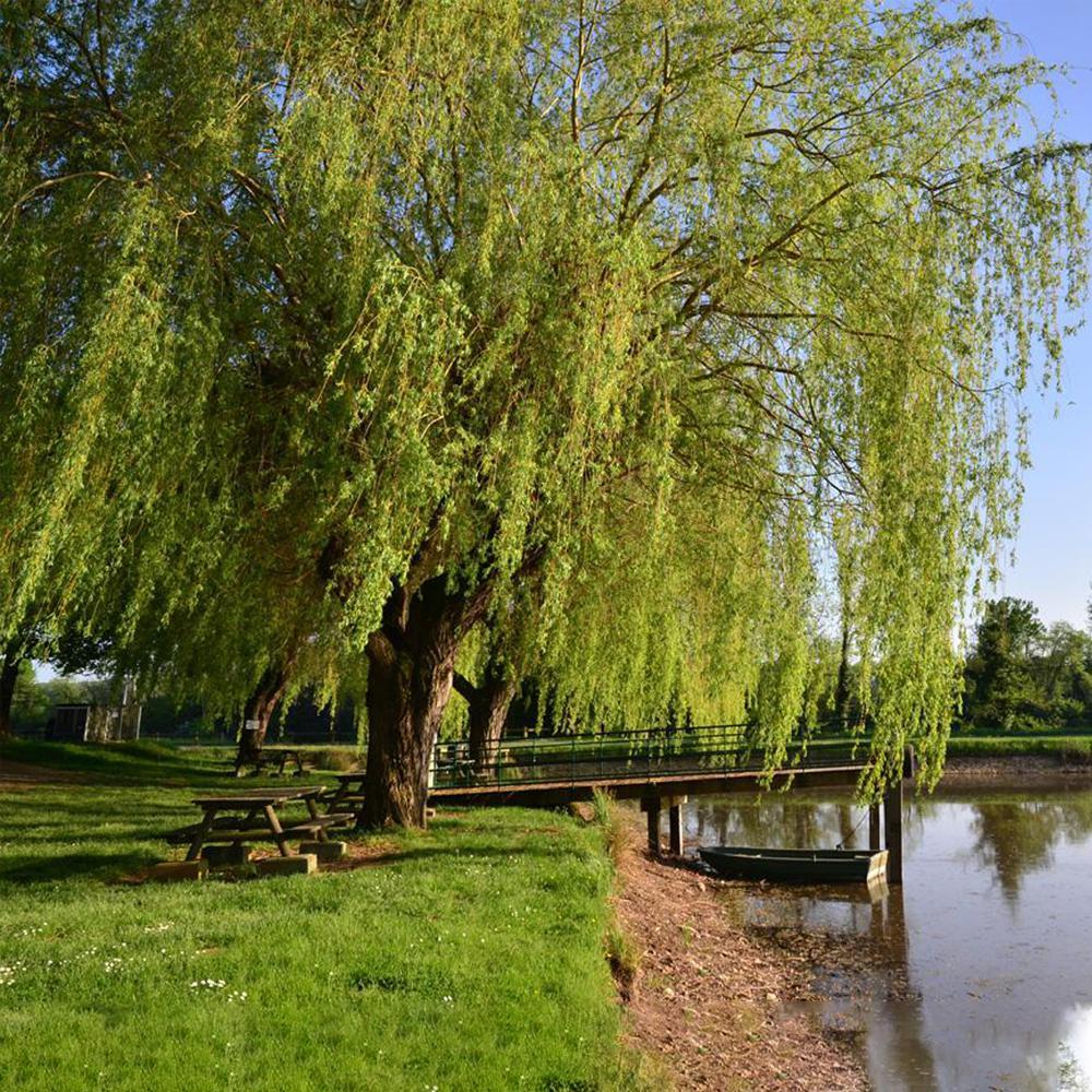Trồng cây liễu trong công viên