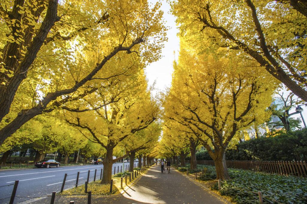 Cây osaka hoa vàng cực đẹp