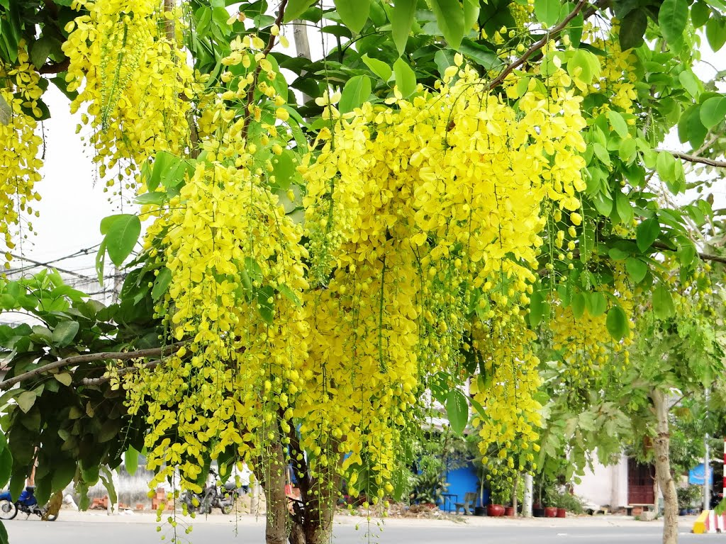 Cây Osaka hoa vàng sinh trưởng nhanh, dễ chăm sóc
