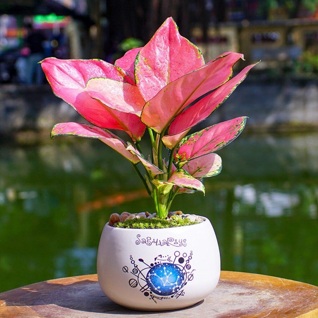 Cây vạn lộc có màu lá hồng nhẹ nhàng, đẹp tinh tế