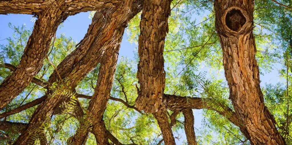 Thân cây cẩm lai cho giá trị kinh tế cao