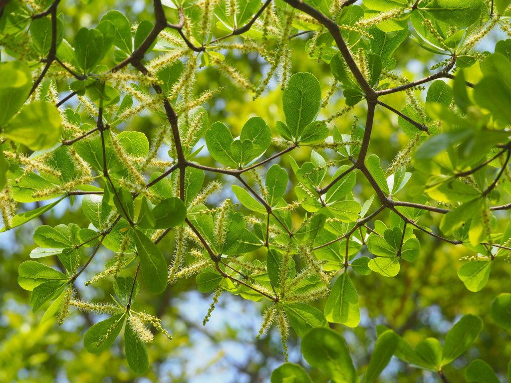 Lá cây bàng Đài Loan xanh tươi quanh năm