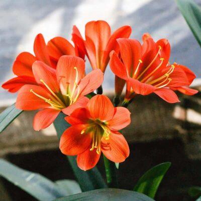 Cây hoa lan quân tử