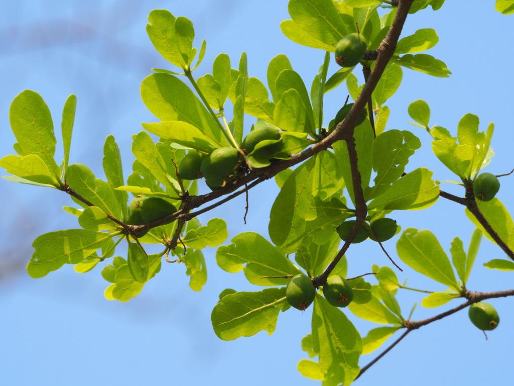 Cây bàng Đài Loan có khả năng sinh trưởng tốt
